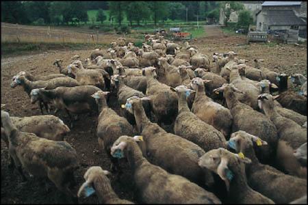 Coup de Gueule : Porter une VRAIE dorsale.... - Page 2 Mouton_elevage