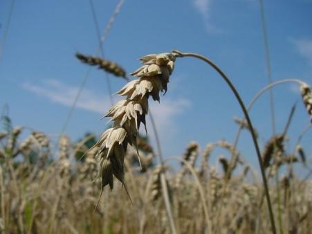 Champ de blé GM au Canada
