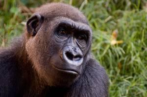 Emmanuelle Grundmann : « 125.000 gorilles dans une zone à risques »