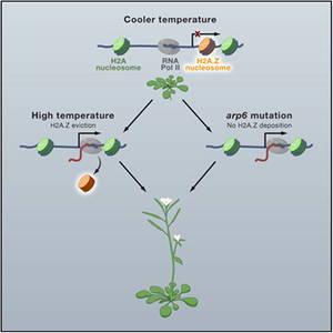 Le secret des plantes pour s'adapter à la chaleur : un mystère élucidé !