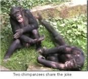 Quand les chimpanzés rient pour ne vexer personne