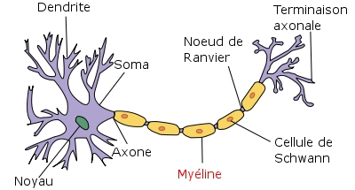 Ce schéma représente un neurone (en violet). Sonaxone est entouré d'une gaine de myéline servant d'isolant électrique et permettant une meilleure conduction de l'information nerveuse. Lorsque cette protection est détruite par le système immunitaire, comme c'est le cas dans la sclérose en plaques, le message circule mal, ce qui aboutit à des troubles moteurs ou visuels.© Selket, Wikipédia, cc by sa 3.0