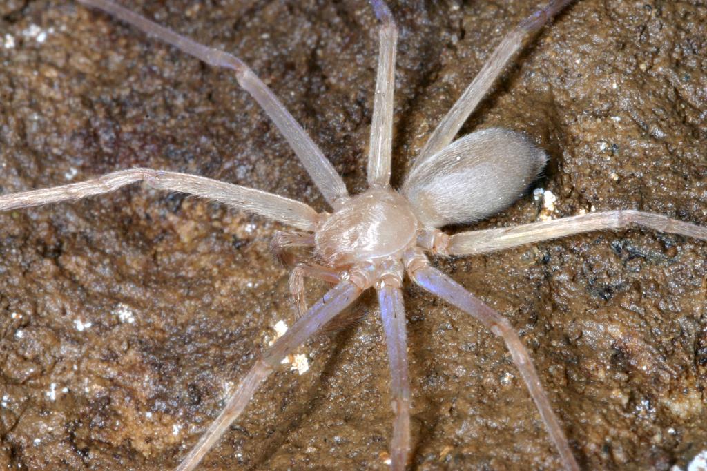Sinopoda scurion, l'araignée sans yeux du Laos Sinopoda-scurion-dorsal-alive_PeterJager