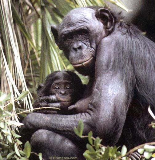 Des Bonobos humanus
