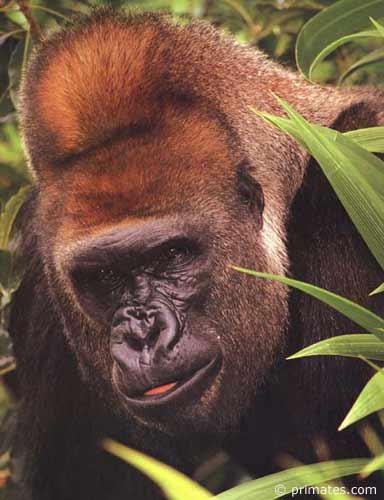Les internautes invités à faire ami-ami avec les gorilles