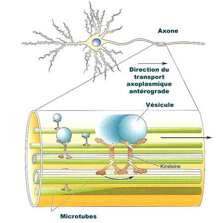 ILLUSTRATION : Transport axoplasmique antérograde (Source : Futura-Santé)