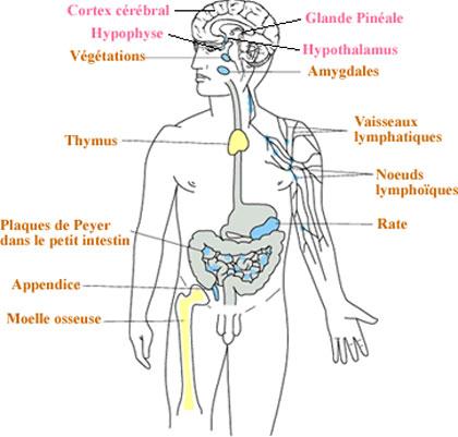 comment augmenter son système immunitaire