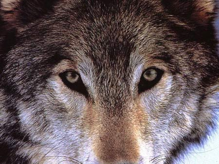 Loup communicateur dans LOUP loupfs_09