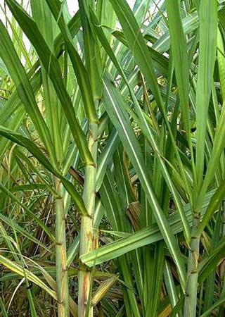 Kenya : Le delta du fleuve Tana menacé par les plantations de canne à sucre
