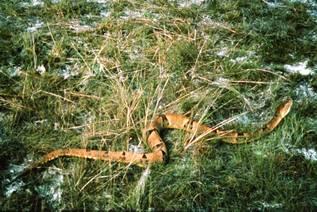 Les morsures de serpents RTEmagicC_Bothrops.jpg