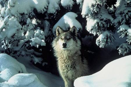 Quelques espèces d'animaux en danger d'extinction (magnifique photos + descriptions sous chaque photo) RTEmagicC_vercors_loup.jpg