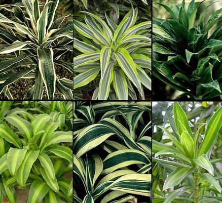 Le dracaena dragonniers famille des agavac es - Plantas de interior altas ...