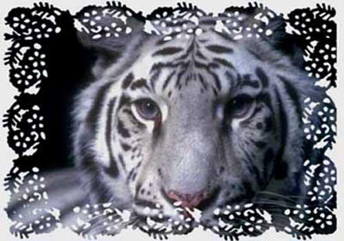 Le tigre blanc le blog de p ri - Photo de tigre blanc a imprimer ...