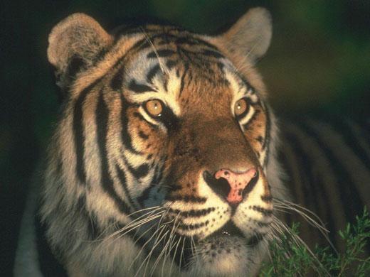 Coloriage de tigre imprimer - Photo de tigre a imprimer ...