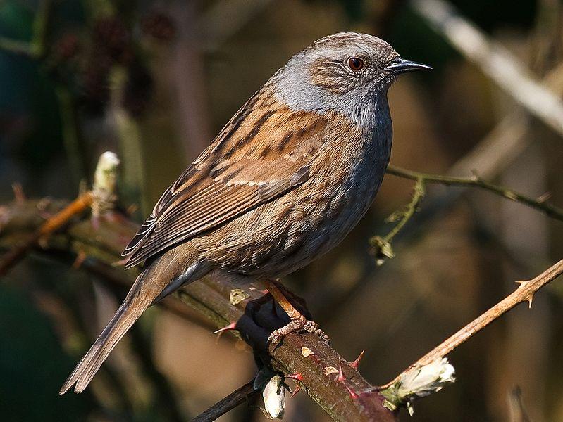 Птица светло-коричневые с темно-коричневыми полосами.