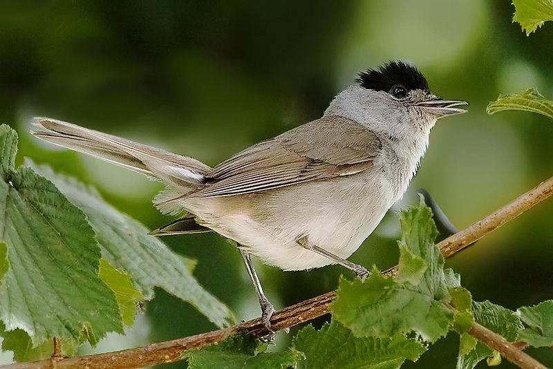 La ronde des fauvettes boudlel oiseau for Oiseaux du sud de la france