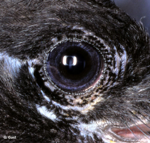 Magpie eye © Gaston Gast - All rights reserved.