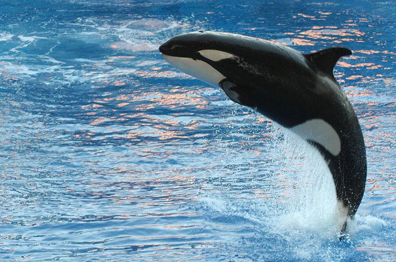 Les orques(ou épaulard) - Page 2 Orca_Orlando_Seaworld